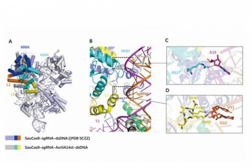 The research group of Prof. Huang Zhiwei from the School of Life Science and Technology revealed the structural basis of SauCas9 inhibition by AcrIIA14